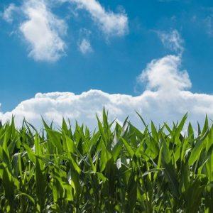 Обработват с препарати масивите с царевица