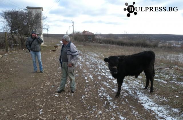 Стопанин благодари на полицията за върнато теле