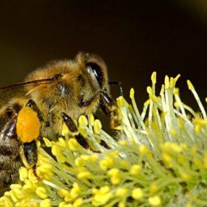 Предупреждават пчеларите: Предстоят пръскания с препарати за растителна защита